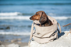 Teckel dog stuck in a bag Stock Images