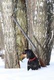 Teckel et fusil de chasse noirs près de l'arbre de bouleau dans la forêt d'hiver Photos stock