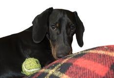 Teckel-Hundespielen Lizenzfreie Stockfotos