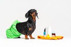 Teckel mignon de chien, noir et bronzage, envelopp? dans une serviette verte, apr?s l'averse avec un canard jaune en caoutchouc,  photos libres de droits