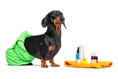 Teckel mignon de chien, noir et bronzage, envelopp? dans une serviette verte, apr?s l'averse avec un canard jaune en caoutchouc,  photos stock
