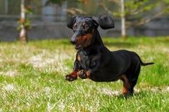 Teckel nain d'une chevelure allemand de chien heureux jouant dans l'arrière cour Image stock