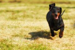 Teckel nain d'une chevelure allemand de chien heureux jouant dans l'arrière cour Photo libre de droits