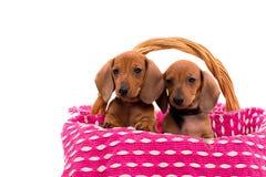 Teckel puppies Stock Photography