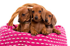 Teckel puppies Stock Image