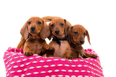 Teckel puppies Royalty Free Stock Images