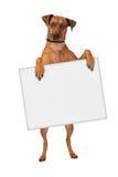 Tecken för arg hund för Pinscher hållande Arkivfoton