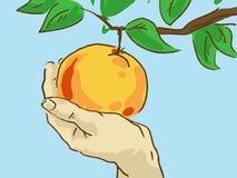 Tecknad filmhand som river en Apple från en filial Fotografering för Bildbyråer
