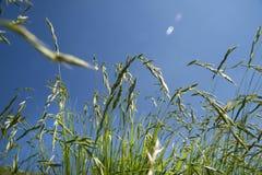 tecknad illustration för fältgräshand Royaltyfri Foto