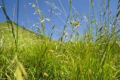 tecknad illustration för fältgräshand Arkivfoto