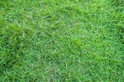 tecknad illustration för fältgräshand Royaltyfri Bild