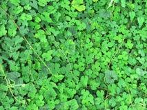 tecknad illustration för fältgräshand Arkivfoton
