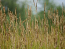 tecknad illustration för fältgräshand Arkivbilder