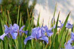 tecknad iris för blommahandillustration royaltyfria foton