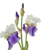 tecknad iris för blommahandillustration Royaltyfri Foto