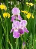 tecknad iris för blommahandillustration Arkivfoton