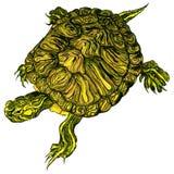 tecknad sköldpadda för trachemys för handhusdjurscripta Fotografering för Bildbyråer