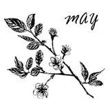 Teckning av blommande plommonträdfilialer med knoppar och sidor, hand-dragen illustration Arkivfoton