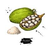 Teckning för Baobabvektorsuperfood Organisk sund mat skissar intelligens stock illustrationer