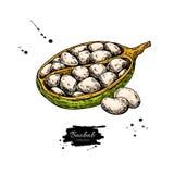 Teckning för Baobabvektorsuperfood Organisk sund mat skissar intelligens royaltyfri illustrationer