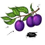 Teckning för PrintPlum filialvektor Hand dragen isolerad frukt royaltyfri illustrationer