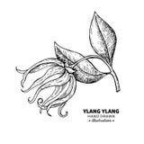 Teckning för Ylang ylangvektor Isolerad tappningillustration av mig stock illustrationer