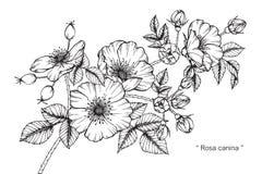 Teckningen för den Rosa caninablomman och skissar Arkivbild