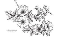 Teckningen för den Rosa caninablomman och skissar Royaltyfri Fotografi