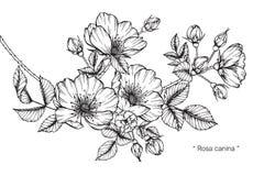Teckningen för den Rosa caninablomman och skissar Royaltyfria Foton