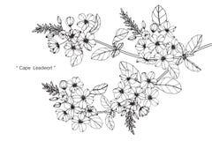 Teckningen för uddeleadwortblomman och skissar Royaltyfria Bilder