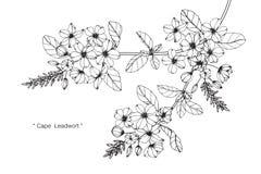 Teckningen för uddeleadwortblomman och skissar Royaltyfria Foton