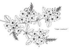 Teckningen för uddeleadwortblomman och skissar Arkivfoton