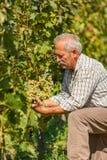 Tecnico viticolo che mostra il mazzo dell'uva Immagine Stock Libera da Diritti