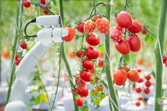 A tecnologia de processamento de imagens era aplicar-se com o robô ao usado a colher tomates na indústria da agricultura fotos de stock royalty free