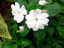 Teco bianco Fotografie Stock