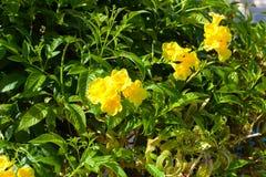 Tecoma笔直 在软的阳光和模糊的bokeh背景下的一个自然花卉春天开花的庭院 免版税库存图片