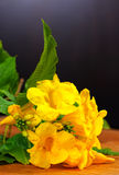 Tecoma blomma Arkivfoton