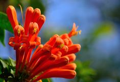Tecoma capensis. Beautiful orange flowers in full splendor, Tecoma capensis Royalty Free Stock Photo