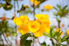 Tecoma flowers Stock Photos