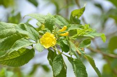 Tecoma gaudichaudi Tabebuia aurea Drzewny Żółty kwiat obrazy royalty free