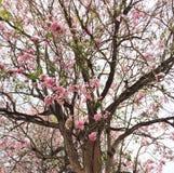 Tecoma rose dans le campus de Kamphaengsaen d'université de Kasetsart Images libres de droits