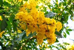 Yellowbells flower. Tecoma stans also commonly known as yellow elder or trumpetbush or yellowbells or ginger-thomas or tronadora, grows as a densely branched Stock Photo
