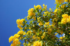 Tecoma stans blossom. Beautiful blossom of Tecoma stans yellow flowers Royalty Free Stock Photography