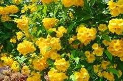 Tecoma stans in city garden in Trivandrum. India, Kerala.  stock image