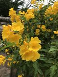 Tecoma stans eller gul Trumpetbush blomma Arkivbild