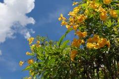 Tecoma Stans Flor amarela que floresce em cada estação em Brasil imagens de stock royalty free