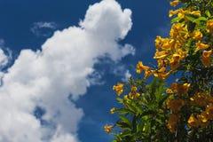 Tecoma Stans Flor amarela que floresce em cada estação em Brasil fotografia de stock