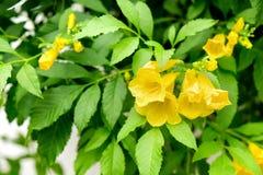 Tecoma stans kwiatów żółty okwitnięcie Zdjęcia Royalty Free