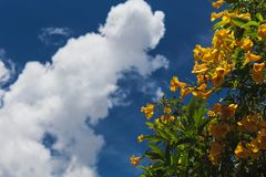 Tecoma Stans. Yellow flower blooming in every season in Brazil stock photography