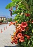 Tecoma y flores del plátano en la calle cerca del hotel en Kemer, costa mediterránea, Turquía foto de archivo